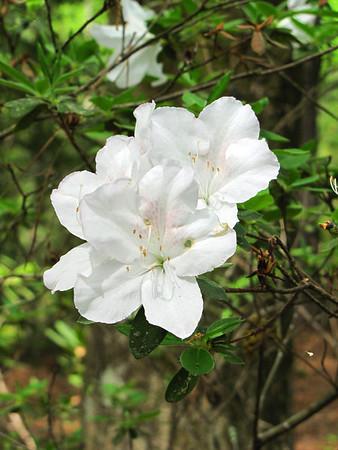 Callaway Gardens (azalea) (8)