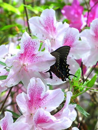 Callaway Gardens (azalea) (3)