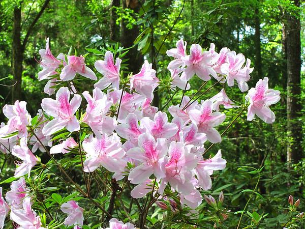 Callaway Gardens (azalea) (2)
