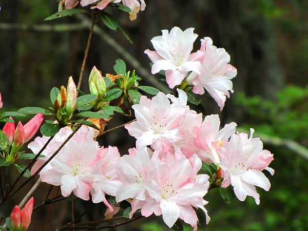 Callaway Gardens (azalea) (9)