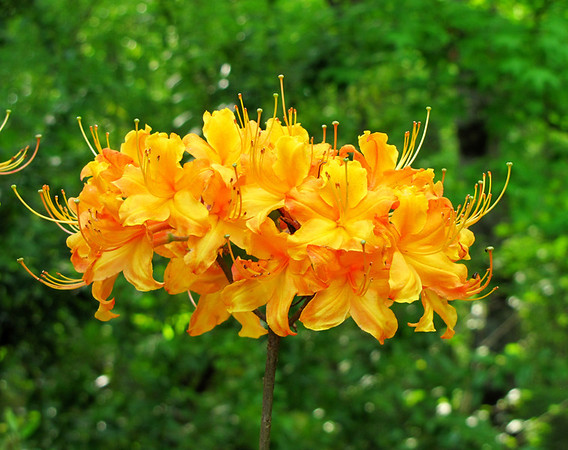 Callaway Gardens (azalea) (6)