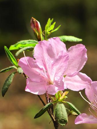 Callaway Gardens (azalea) (4)
