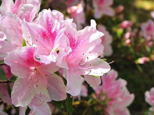 Callaway Gardens (azalea) (5)