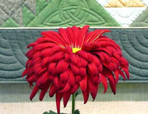2011 North Carolina  Chrysanthemum Society mum show (20)