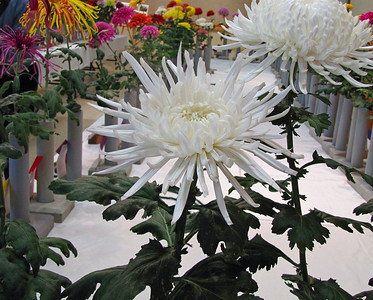 2011 North Carolina  Chrysanthemum Society mum show (13)