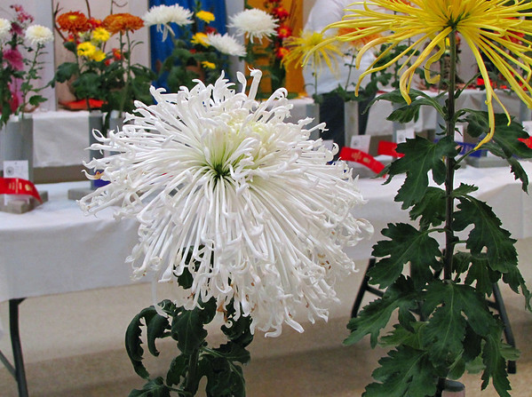 2011 North Carolina  Chrysanthemum Society mum show (7)