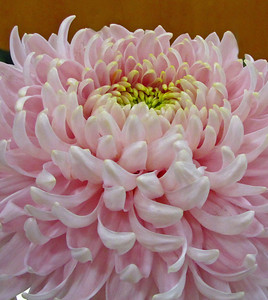 2011 North Carolina  Chrysanthemum Society mum show (16)