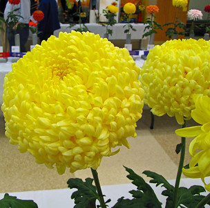 2011 North Carolina  Chrysanthemum Society mum show (10)