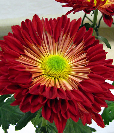2011 North Carolina  Chrysanthemum Society mum show (21)