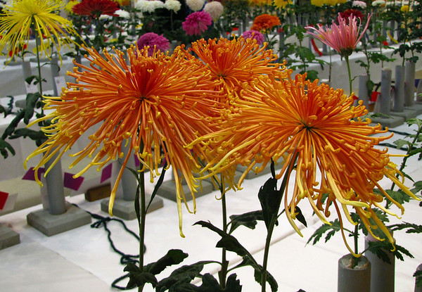 2011 North Carolina  Chrysanthemum Society mum show (14)