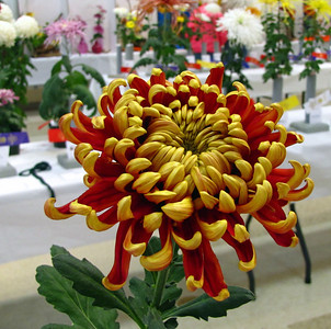 2011 North Carolina  Chrysanthemum Society mum show (12)