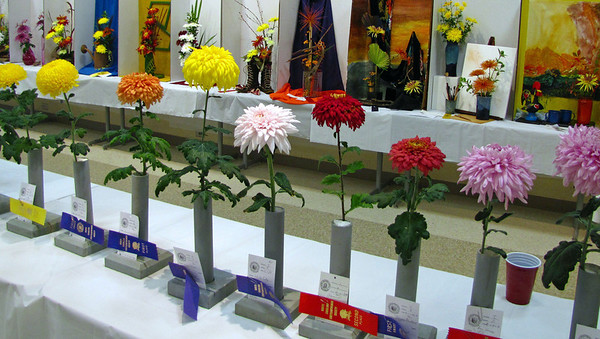 2011 North Carolina  Chrysanthemum Society mum show (1)