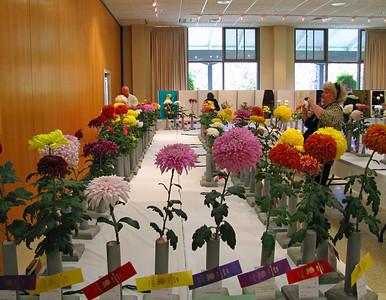 2011 North Carolina  Chrysanthemum Society mum show (2)