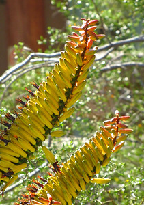 Tucson Botanical Gardens (18)