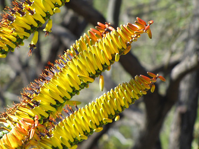 Tucson Botanical Gardens (16)