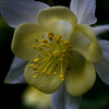 Pale yellow Columbine