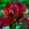Magenta Iris.