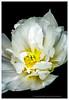 One Dbl White tulip
