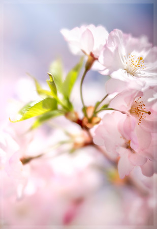 Cherry Blossom Diffused