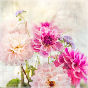 Pink and Purple Dahlias art
