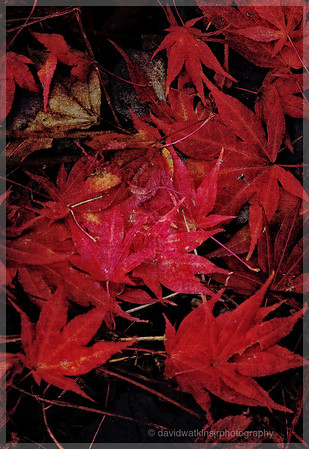 Maple Leaf Red Collage
