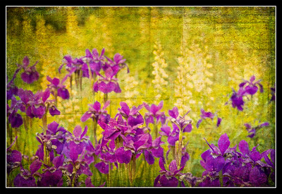 Field of Gold and Purple