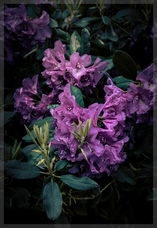 Rhododendron at Dusk