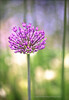 Purple Allium II