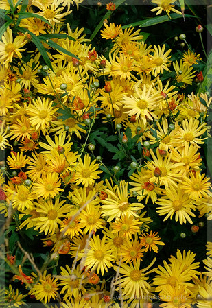 Chrysanthemum Wild No 2