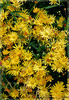 Chrysanthemum Wild No 2