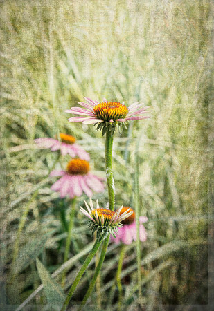 Echinacea and Morning Light No 2