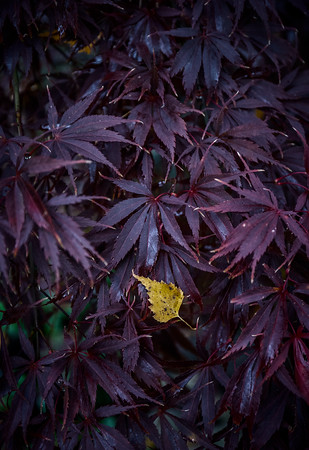 Yellow Leaf on Purple Leaves