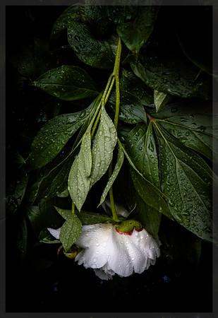 White Peony Down-Hard Rain