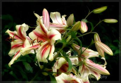 Sensation Lily