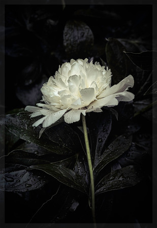 White Peony on black