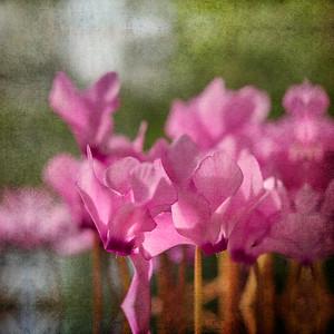 Pink  Cyclamen No 2