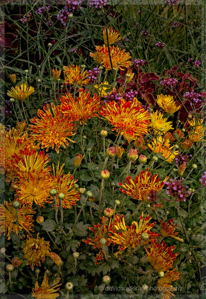 Chrysanthemum Wild