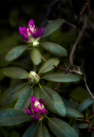 Three Rhododendron Buds