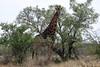 Giraffe among the acacia trees in the Mokolodi Nature Reserve.