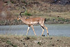 Impala on the move after a drink.