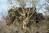Large-Leaved Rock Fig (Ficus abutilifolia) - it typically grows  up to about 20 ft (6 m)  tall, but can grow taller.