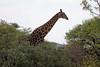 Giraffe in transit in the Mokolodi Nature Reserve.