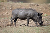 Warthog - after a mudbath.  Warthogs do not have subcutaneous fat and the coat is sparse, making them suceptible to extreme environmental temperatures.