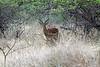 """Impala (Aepyceros melampus) -- a medium-sized antelope.  The name impala comes from the Zulu language meaning """"gazelle"""""""
