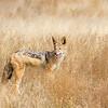 Kalahari Jackal
