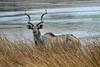 Kudu peering over the grass along Lake Gwithian - Mokolodi Nature Reserve - Botswana, Africa