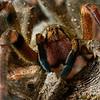 Phoneutria (brazilian wandering spider / armadeira)