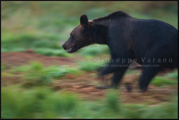 Brown bear's motions blurs