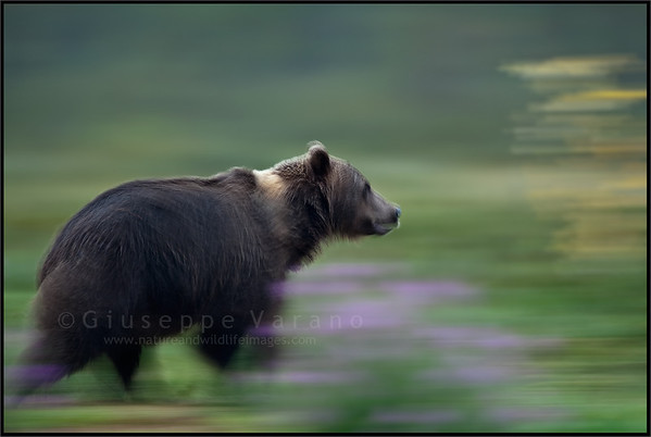 Brown bear's motions blurs