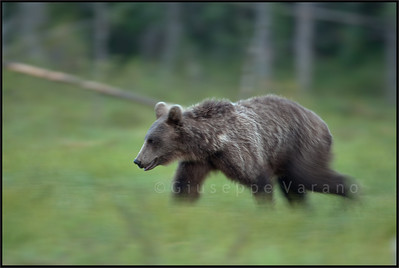 Slow walking bear